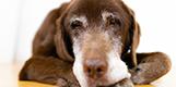 老犬になると筋肉や内臓等衰えてきます。若い頃よりもより質の高い食事が重要です。