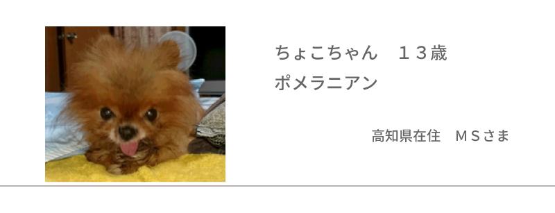ちょこちゃん 13歳ポメラニアン 高知県在住 MSさま