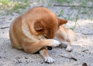 ドッグスタンス 療法食 皮膚ケア(フィッシュ) 痒がっている犬